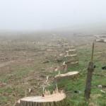 poplars-after1